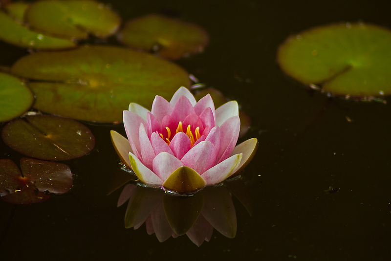 WATER LILY REFLECTION by Matthew Burniston