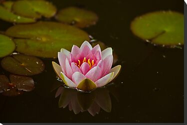 WATER LILY REFLECTION by Matthew Burniston