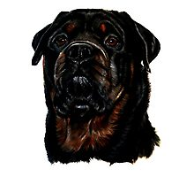 Male Rottweiler Photographic Print