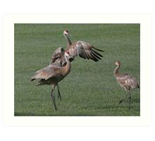 Sandhill Crane Display~ Art Print