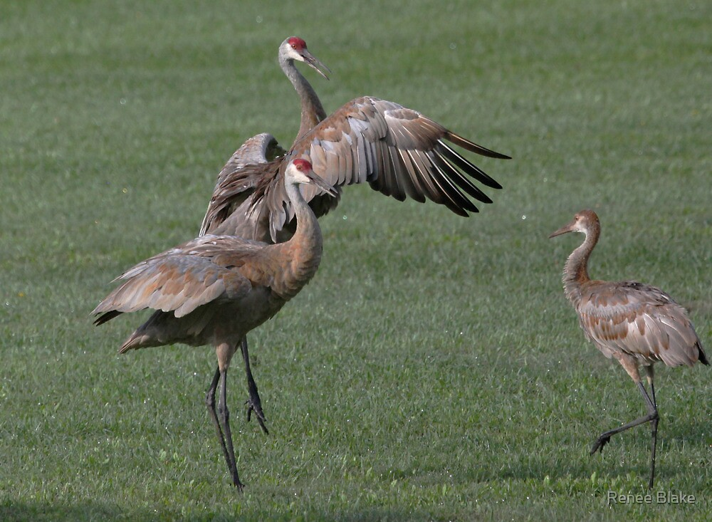Sandhill Crane Display~ by Renee Blake