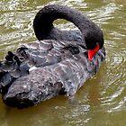 A black swan by Elizabeth Kendall