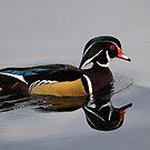 Wood duck - Seattle by David Clark