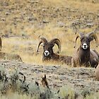 Rocky Mountain Sheep  by David Clark