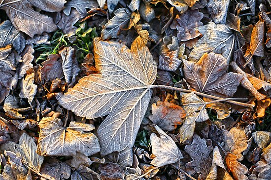 Frosty leaves by Trish  Anderson