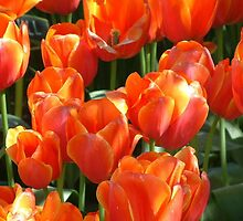 Tulips in there Glory by JimmieTs
