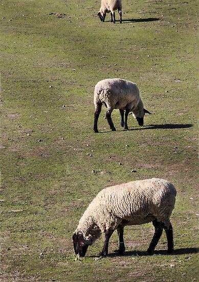 Three Sheep by heatherfriedman