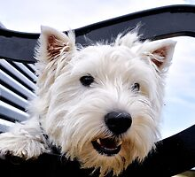Westie, west highland terrier, Bella - just sayin', prints and gifts by ColinKemp