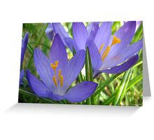 Early Spring Crocus Greeting Card