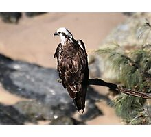 white bellied sea eagle  Photographic Print