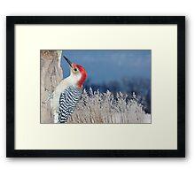 Red bellied Woodpecker winter wonderland Framed Print