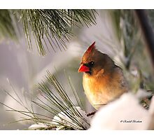 Female Cardinal Nestled in Snow Photographic Print