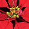 Poinsettia Macro by Linda Makiej