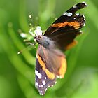 Red Admiral by William Brennan
