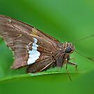 Silver Spotted Skipper by William Brennan