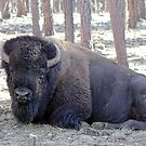 American Bison by Jazzy724