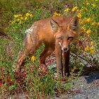 Coola Foxie by JamesA1