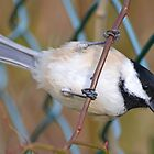 Chickadee2 by William Brennan