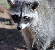 Raccoon  (Procyon lotor) by Jazzy724
