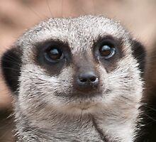 Meerkat Face by Steve Purnell