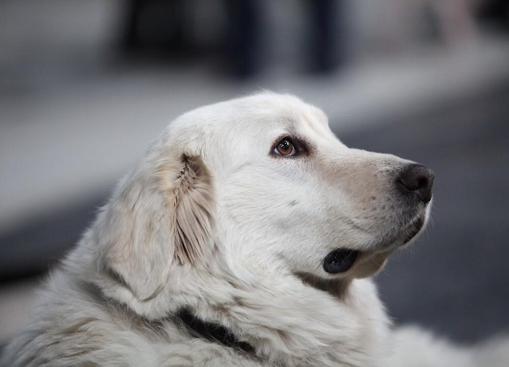 Head side of the big white dog by mrivserg