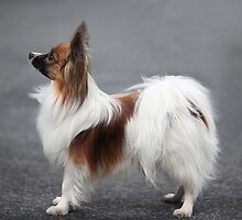 a small fluffy dog the side by mrivserg