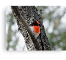 Red-Capped Robin Canvas Print