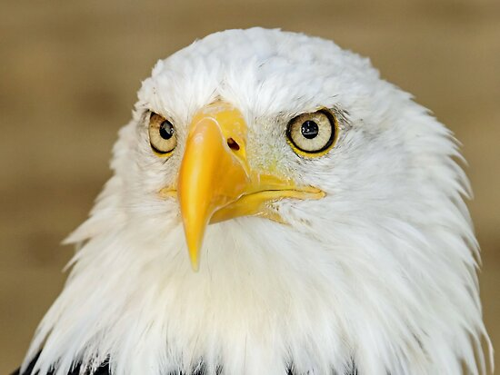 Bald Eagle Up Close by Mark Hughes