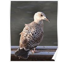 Young Gull Waiting For Mum To Feed Him Poster