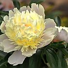 Two Tone Peony - remembering summer!!!! by Poete100