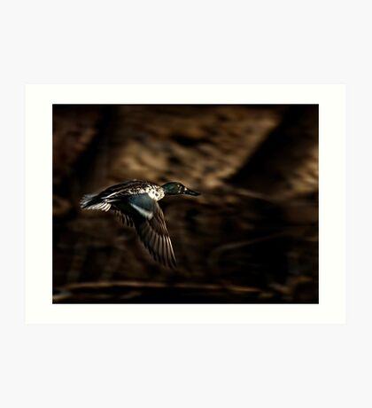 Flying Northern Shoveler Art Print