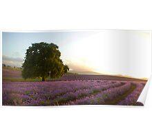 Bridestowe Lavender Farm, Nabowla Poster