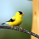 American Gold-Finch  by Johnny Furlotte