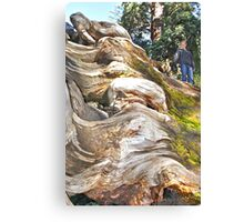 Wavy Redwoods Canvas Print