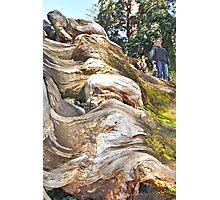 Wavy Redwoods Photographic Print