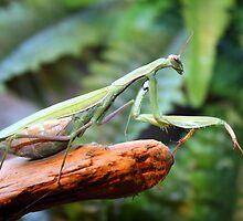 Praying Mantis by Johnny Furlotte