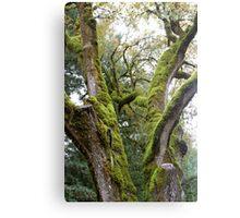 Mossy Tree Canvas Print