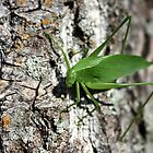 Green Leaf Bug by Johnny Furlotte