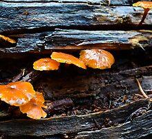 Gelatinous Fungi by LadyEloise