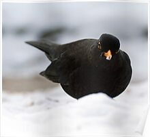 blackbird in the snow Poster