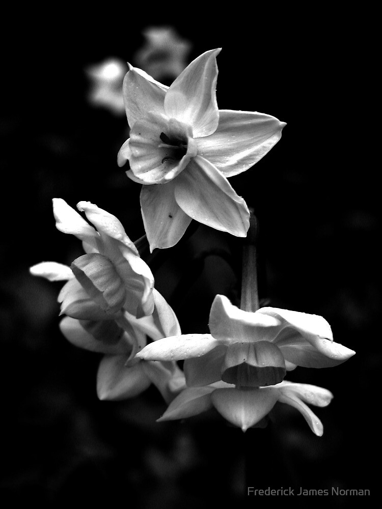 Black and White Flower by Frederick James Norman