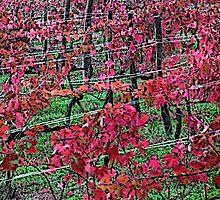 Toscana's wineyard by gluca
