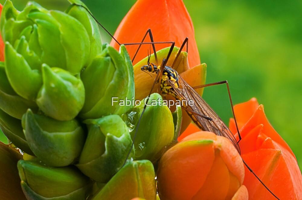 Tipula (Tipulidae) by Fabio Catapane