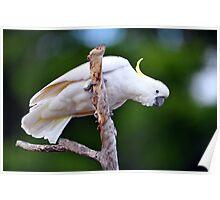 Sulphur Crested Cockatoo. Cedar Creek, Qld, Australia. (2) Poster