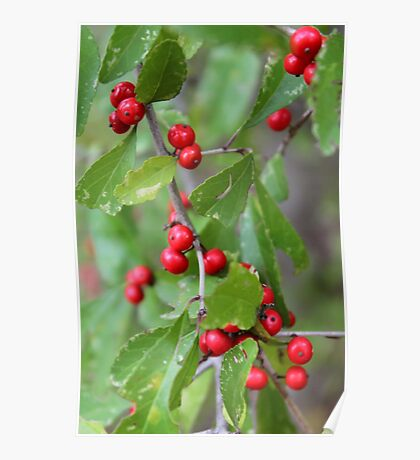 Deciduous Holly Poster