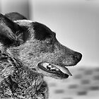 Portrait of an old dog by Maree Cardinale