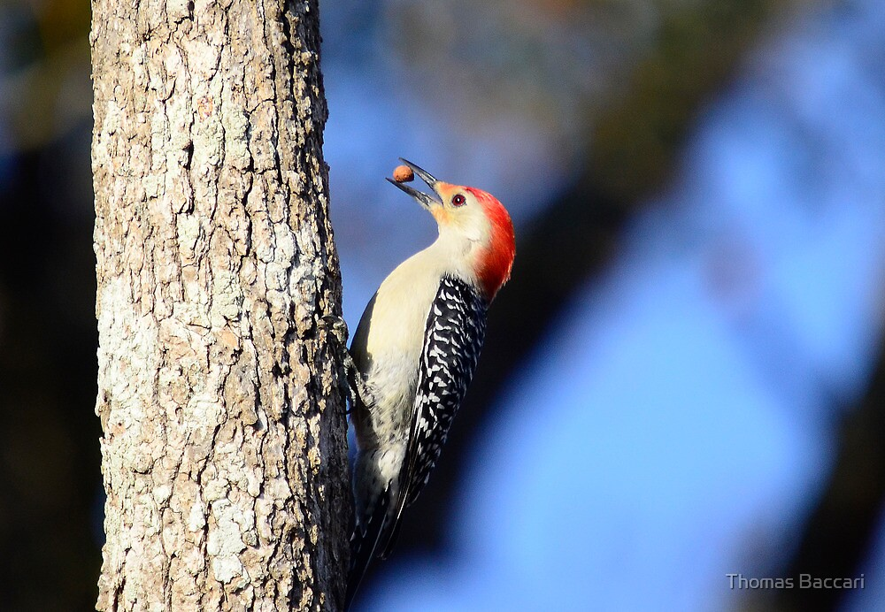 Woodpecker Up Close by TJ Baccari Photography