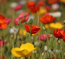 Poppies by baro