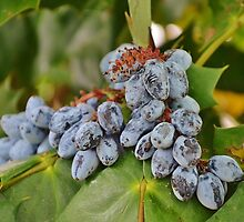 Mahonia by Scott Mitchell