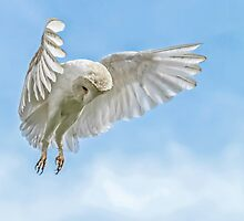 Barn Owl Hunting Hover by Mark Hughes
